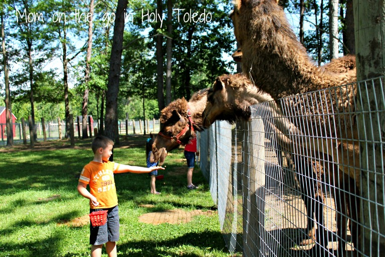 petting zoo 040